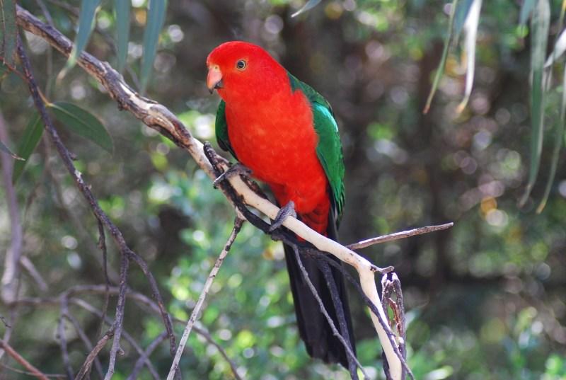 pappagallo re australiano