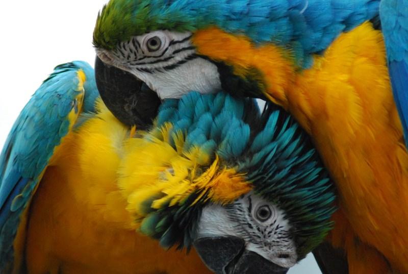 Due are gialloblu si lisciano le penne a vicenda