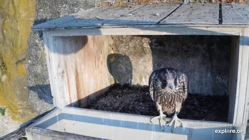 webcam animali in diretta: falco in attesa dei genitori