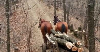 Lugoj Expres Trei bărbați, prinși la furat de lemne, la Visag Visag Victor Vlad Delamarina salcâm Lugoj lemne infracțiune hoti furt dosar penal cercetări arbori