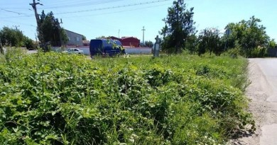"""Lugoj Expres Primăria Lugoj spune """"Stop ambrozia"""". Amenzi pentru deținătorii de terenuri care nu distrug buruiana și impozit majorat pentru terenul neîngrijit terenuri neîngrijite stop ambrozia recomandări primăria lugoj Lugoj impozit majorat deținătorii de terenuri amenzi ambrozie"""