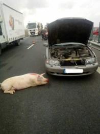 Lugoj Expres Accident pe autostrada A1. Două mașini s-au lovit după ce șoferii au încercat să evite... un porc victimă Timișoara porc Lugoj Iosifălău coliziune autostrada A1 Autostrada accident