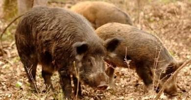 Lugoj Expres Pestă porcină pe fondul de vânătoare 31 Drinova - Ocolul Silvic Lugoj zonă infectată porci mistreți pestă porcină africană pestă porcină Ocolul Silvic Lugoj mistreți fond de vânătoare focar pestă porcină DSVSA Timiș Drinova cadavre
