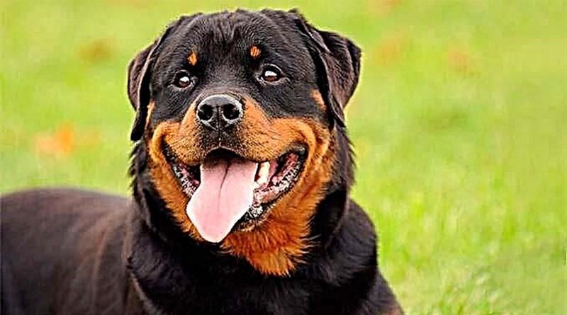 Lugoj Expres Percheziții la doi bărbați care ofereau spre vânzare câini în Germania vânzare câini Știuca percheziții câini Lugoj înșelăciune Găvojdia comerț de câini activitate infracțională