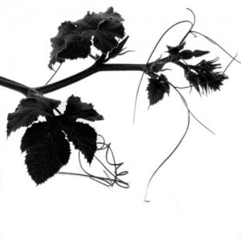 ramo di pianta di zucca