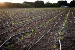 Campo di pomodori nella zona industriale.