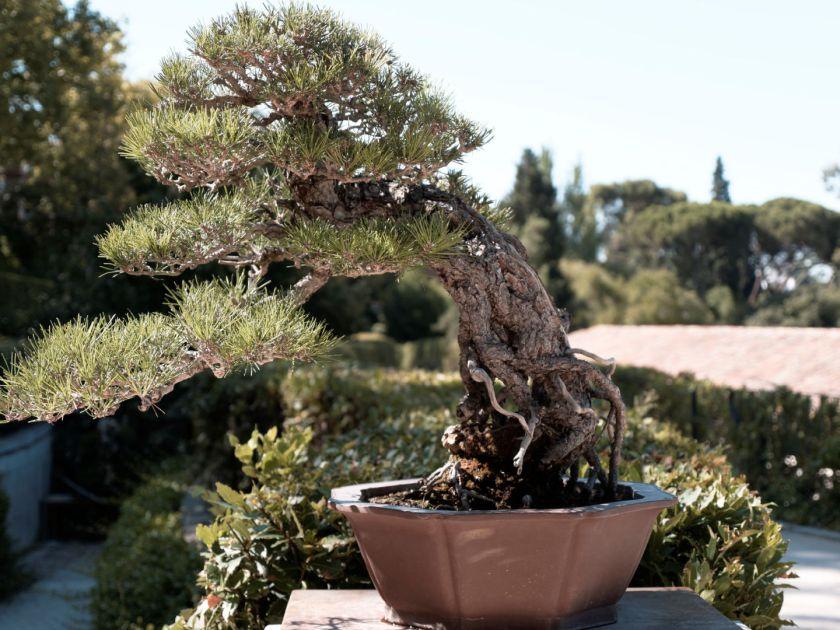 Bonsái han kengai. Artículo sobre el Real Jardín Botánico de Madrid. Fotografía de Luis F. Roncero.