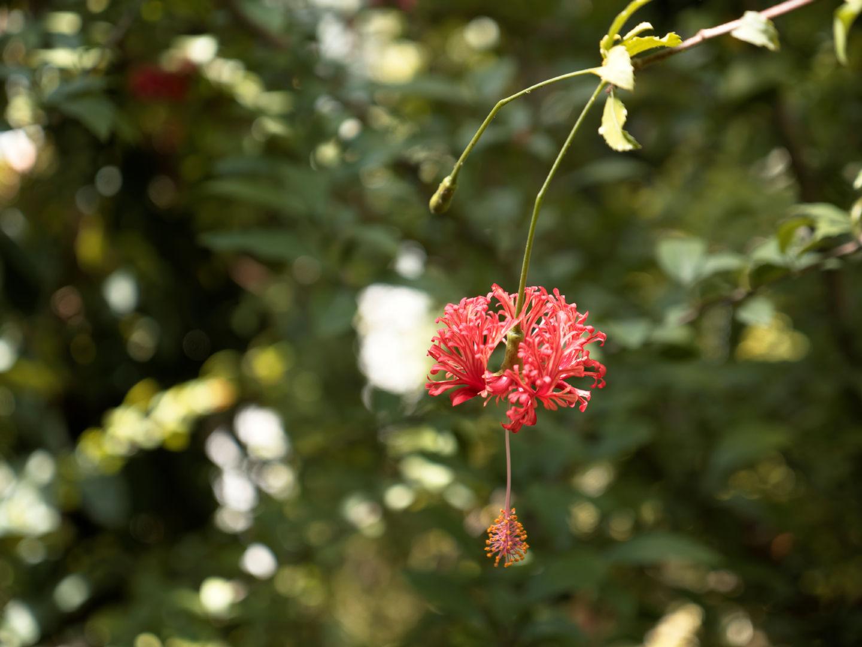 Flor tropical dentro del invernadero del jardín. Artículo sobre el Real Jardín Botánico de Madrid. Fotografía de Luis F. Roncero.