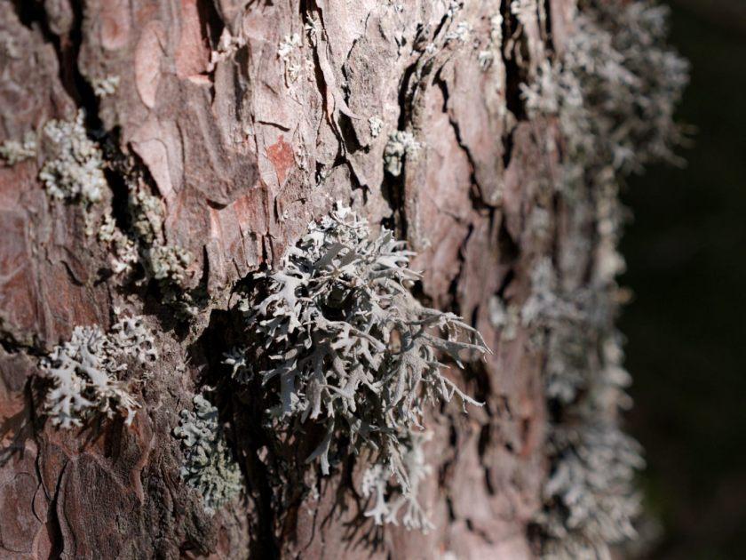 Liquen en un árbol en el Valle de Fuenfria, Cercedilla, Sierra de Madrid. Fotografía de Luis F. Roncero.