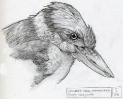 Kookaburra / Lachender Hans, Bleistift, 2014