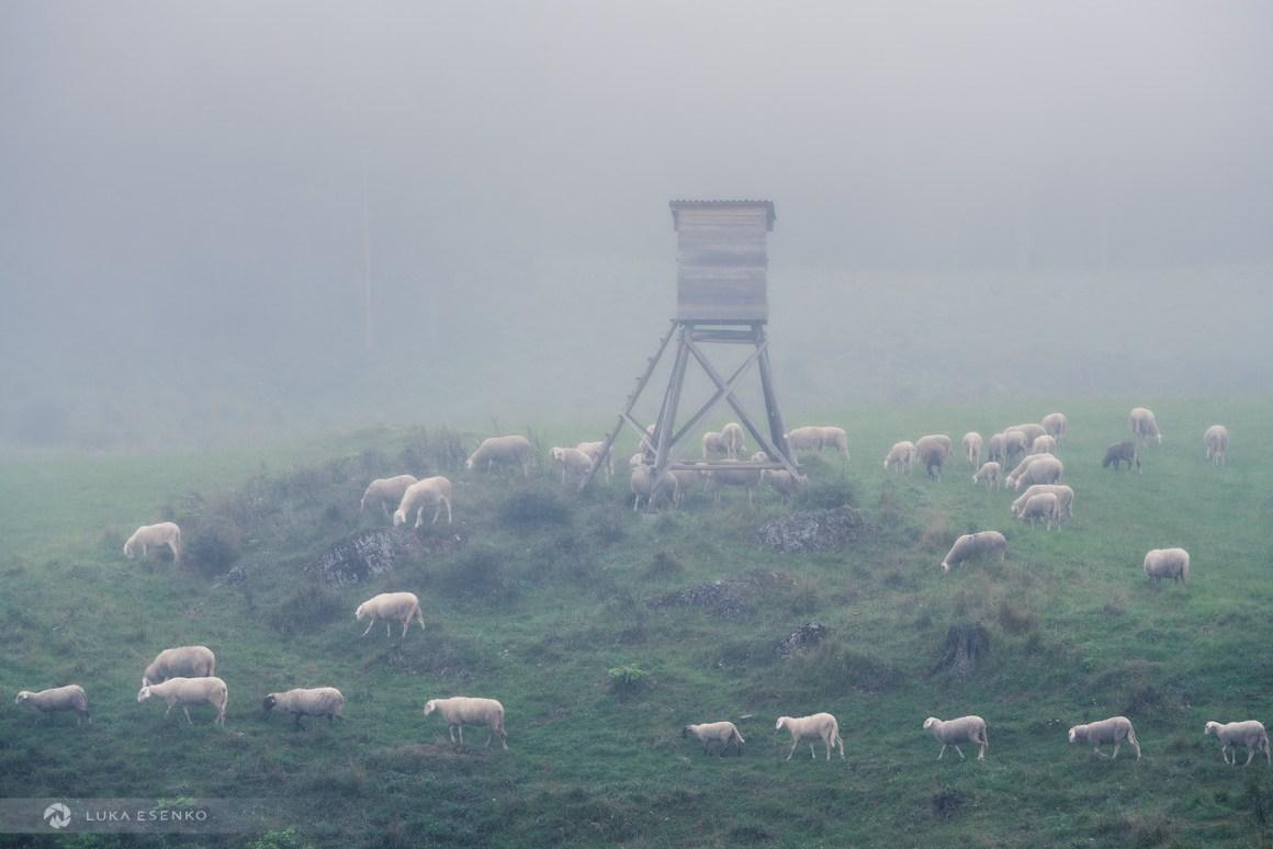 Sheep herd at Kočevsko, Slovenia