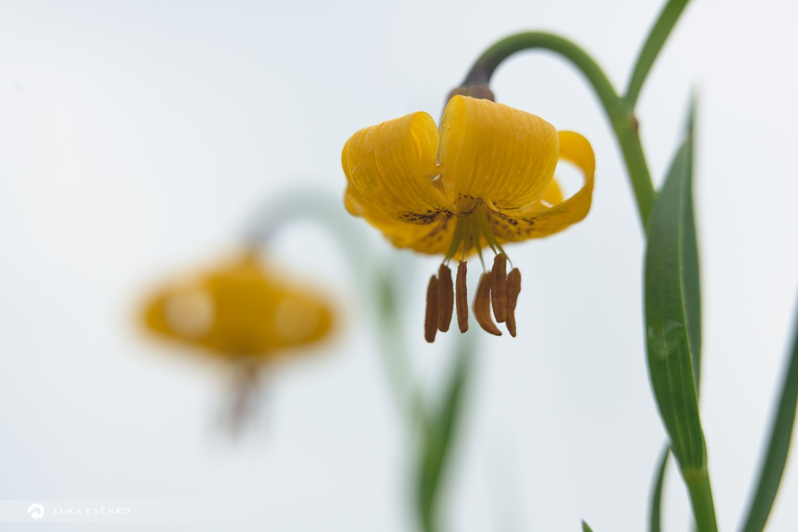 Carniolan lily, Montenegro