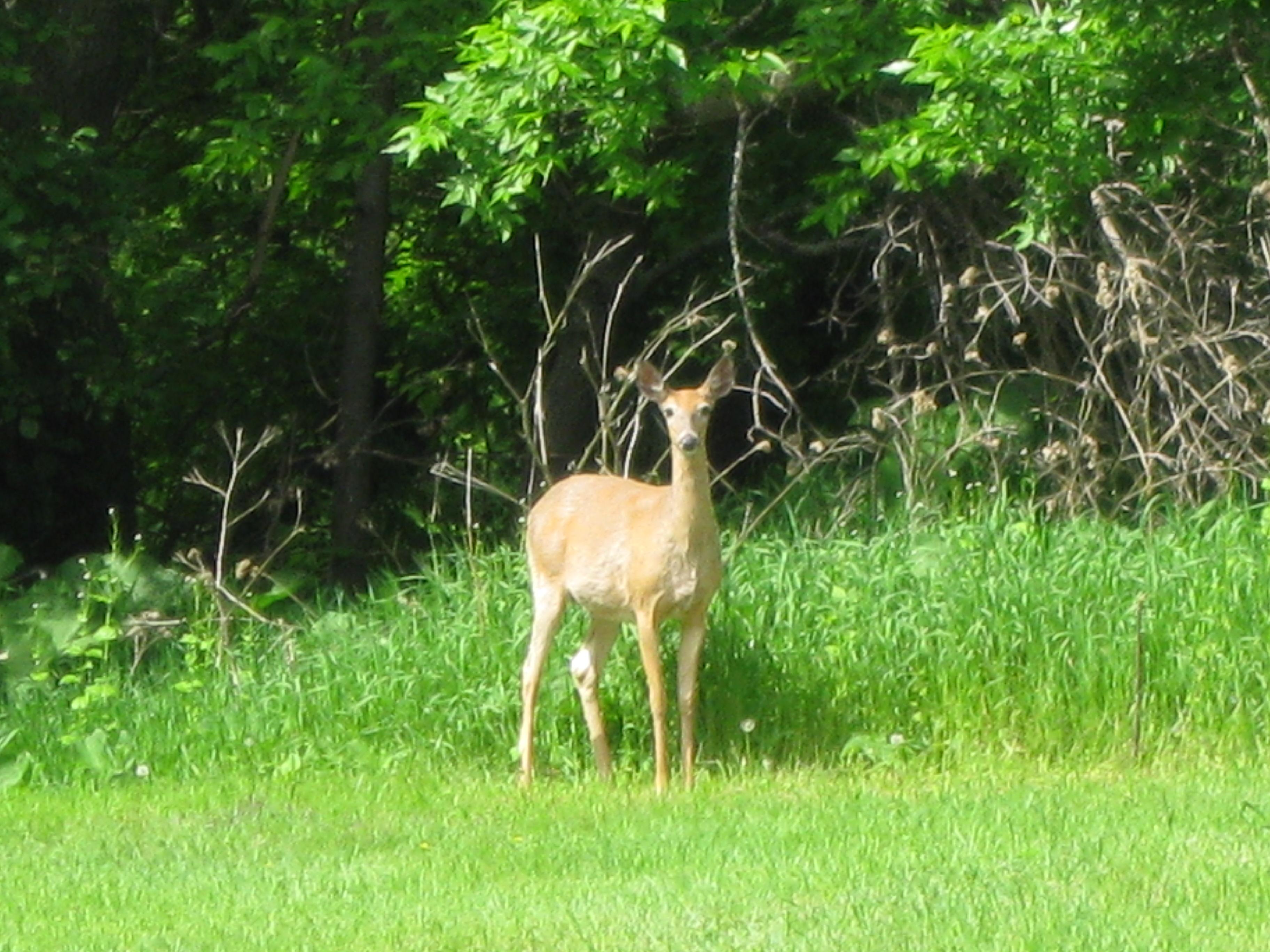 Deer in Bridgeview Park