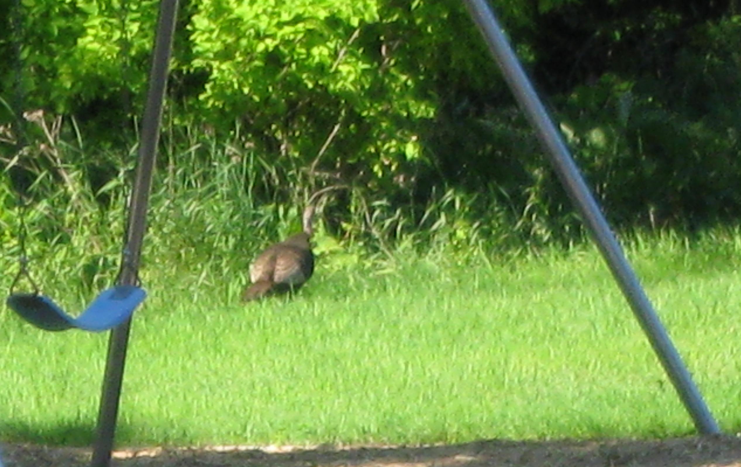 Turkey in Bridgeview Park