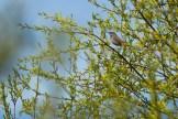 Blaukehlchen (Luscinia svecica), Winsener Marsch bei Hamburg