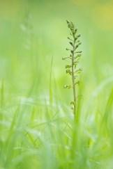 Großes Zweiblatt (Listera ovata)