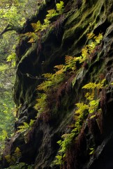 Farnreihen am Fels