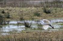 Little Egret (E)