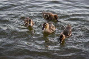 Ducklings @ Needham