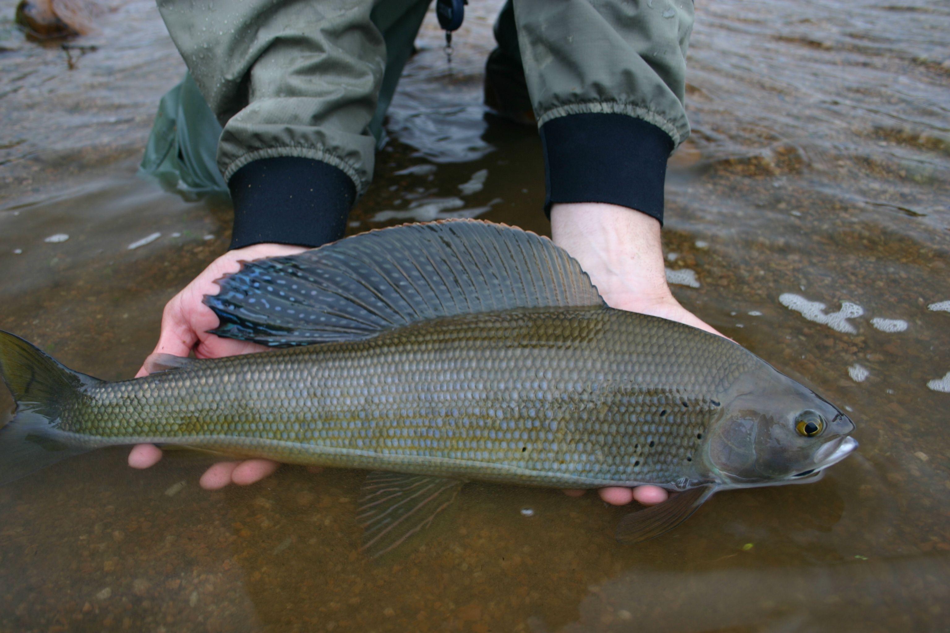 Alaska State Record Grayling Fish Replica Chasing The