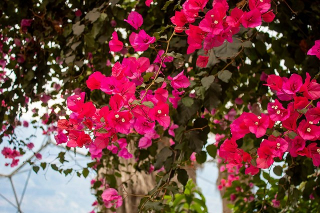 bright pink flowers overhang the walkway in the Mediterranean biome at The Eden Project