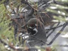 Hier endlich der Kopf zu dem Spruce Grouse, den ich letztes Mal unterschlagen habe! Schoen zu erkennen ist der modische, rote Lidschatten.