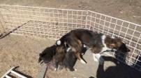 Mama Hund versucht, ihren hungrigen Welpen zu entkommen. Die haben sich allerdings festgesaugt und sie stapft breitbeinig davon.