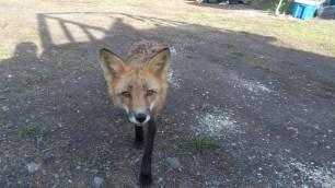 Sein schleimiger Blick ist wirklich eine Klasse fuer sich. Wie hoelfich ein Fuchs ein Fuchs doch sein kann!