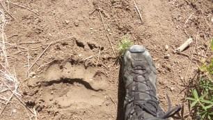 Der Ballen der Vordertatze war mehr als 20 cm breit! die Klauen muessen mehr als fuenf Zentimeter herausgeragt haben.