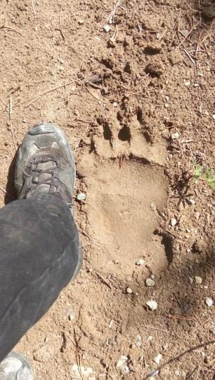 Die Hintertatzen der Baerin lassen meine Schuhgroesse 42 so schoen klein und schmal aussehen. Gut, dass wir nur den Spuren begegnet sind.