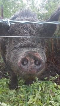Bobba steckt seinen Schweineruessel vorsichtig zwischen den Elektrozaun. Vielleicht habe ich ja was Leckeres fuer ihn.