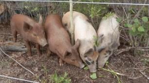 Vier Schweine schnueffeln am Boden nach mehr Gruenzeug.