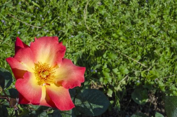 rose.garden001