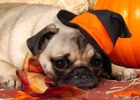 happy halloween pugs