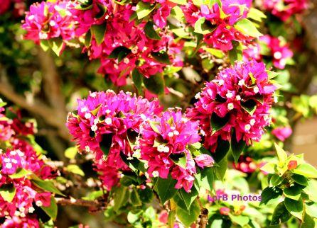 Violet Bugambilia