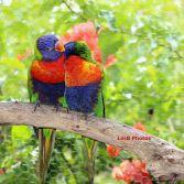 Hugging Lorikeets