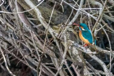 Pescăraș albastru - Alcedo atthis