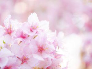 2019年の河津桜を撮る。