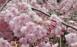 山桜と都民の森