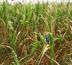 corn damage by el nino