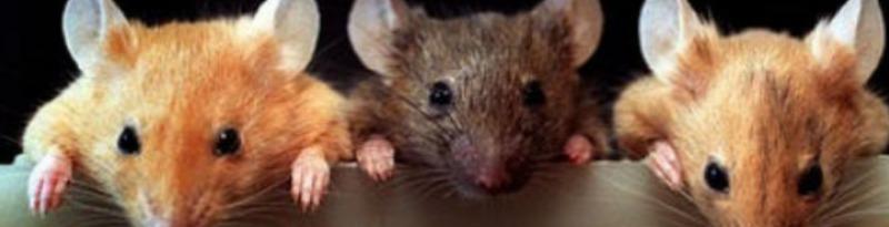 Сонник толкование снов много мышей