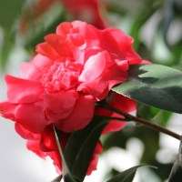 Camellia, Flower of the Moon