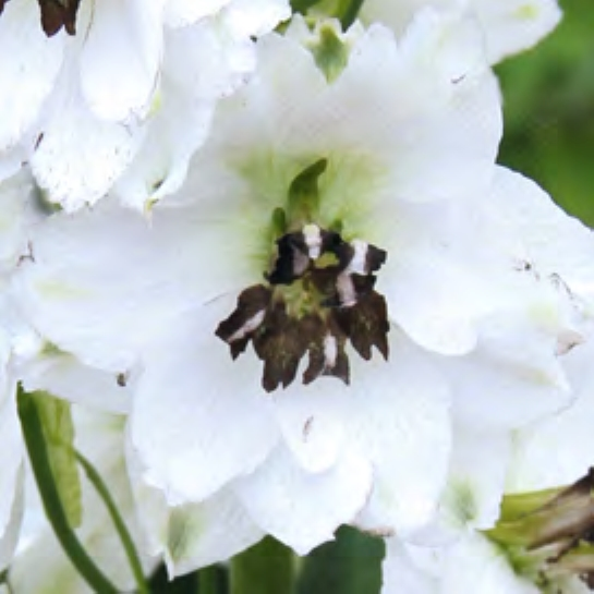 Delphinium 'Magic Fountain 'White' (Ridderspore)