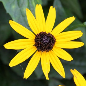 Rudbeckia fulgida 'Little Goldstar' (Solhat)