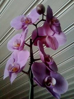 Kuva_orkidea