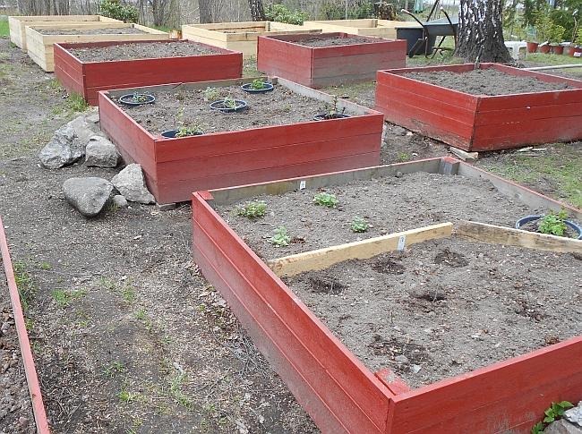 Kasvimaalaatikoiden nakuttelua ja kadonneita mansikan taimia