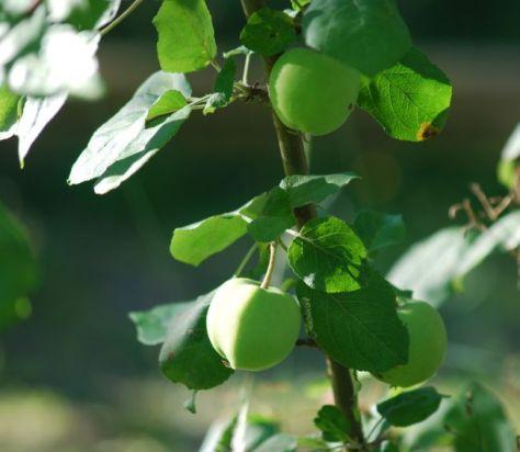 Meidän pihamme hedelmäpuut