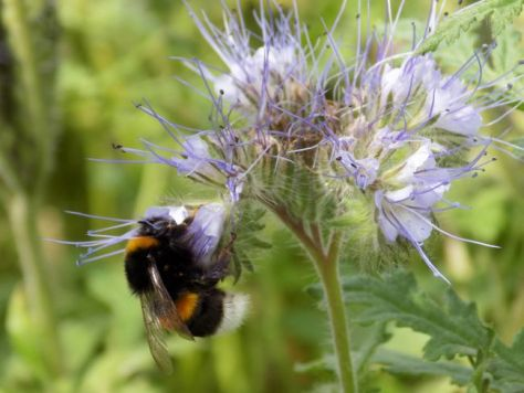 hunajamehiläinen
