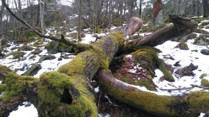 kaatunut-puu