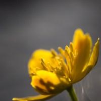 Muotkan erämaassa, osa 1: Alkukesän kukkaloistoa